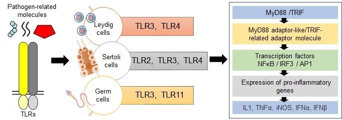 Role of toll-like receptors