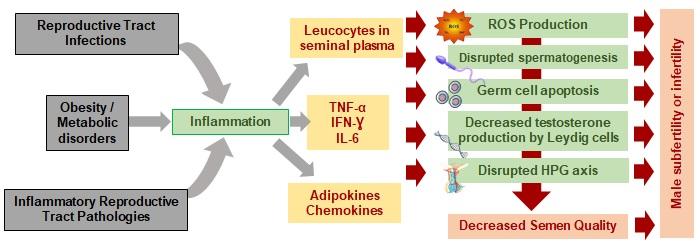 Cytokines in spermatogenesis