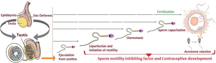male contraceptive development