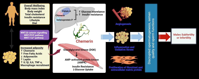 chemerin and male fertility