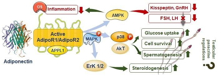 adiponectin and male infertility